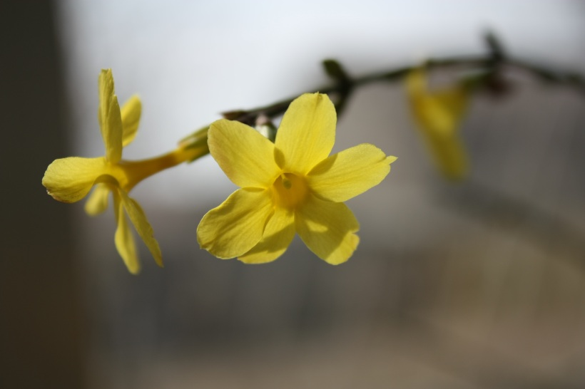 winter-jasmine-2693682
