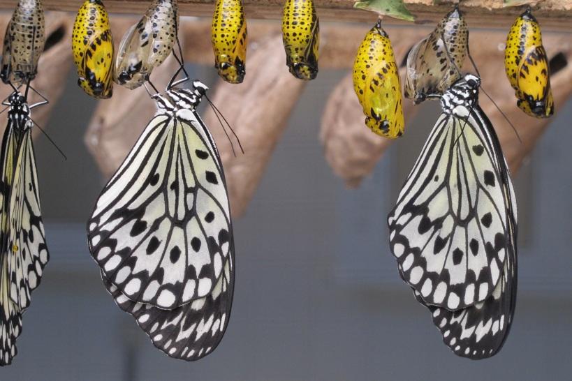 butterflies-1863444.jpg